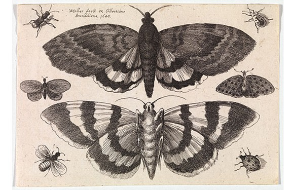 """Two Moths and Six Insects"" by Wenceslaus Hollar at the Virginia Museum of Fine Arts."