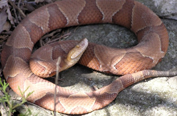 A copperhead snake.