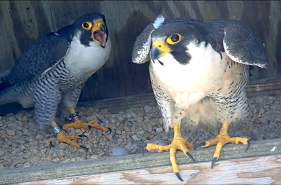 You can watch peregrine falcons Ozzie and Harriet at blog.wildlife.virginia.gov/falcon-cam.