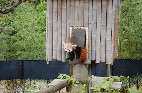 Sunny is a 19-month-old red panda.