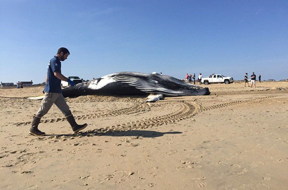 A whale washed ashore Sunday morning in Virginia Beach near 80th Street. It was third whale in less than two weeks found dead.