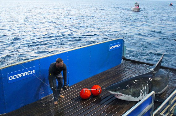 Mary Lee, a 16-foot Great White Shark female, is captured and tagged in September 2013 off Cape Cod.