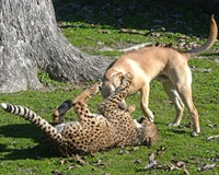 What Do Metro Richmond Zoo's Cheetah Cub and Puppy Viral Videos Say About Humans?