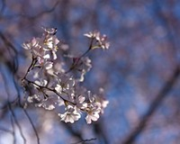 Behind the Photo: Cherry Blossoms
