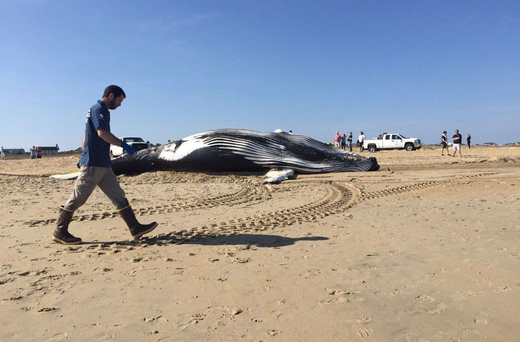 Click To Enlarge A Whale Washed As Sunday Morning In Virginia Beach Near 80th Street It Was Third