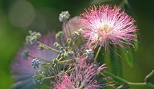 Behind the Photo: Mimosa Pudica
