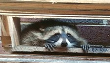 A Raccoon in Virginia Beach Is Spending Its Days Trying to Break Into the City's Jail