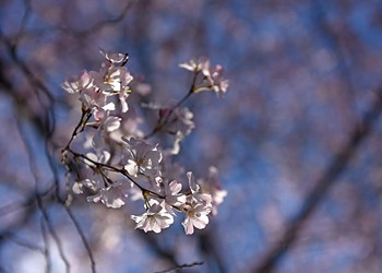 Behind the Photo: River Road Cherry Blossoms