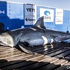 1,600-pound Great White Shark Surfaces off Virginia Beach