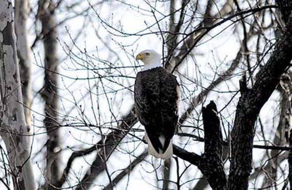 eagle_perched_in_trees_400x261.jpg