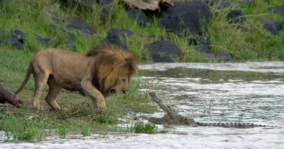 A crocodile informs a lion where his kingdom stops in African Cats, screening at ViewFinders in April.