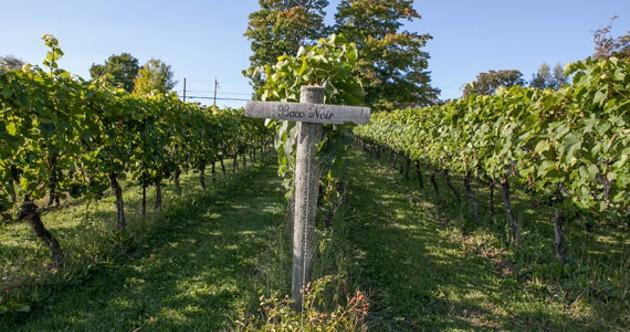 A rolling field of Baco Noir grapes at Blomidon Winery. - SCOTT BLACKBURN
