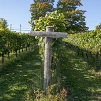A rolling field of Baco Noir grapes at Blomidon Winery.