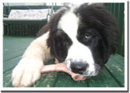 Bone mellow Newfoundland puppy Jack hasn't got a bone to pick with his BARF-y diet.photo Liz Feltham