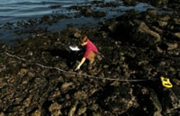 Camille Coray searches for dog whelks. photo Jamie Smith
