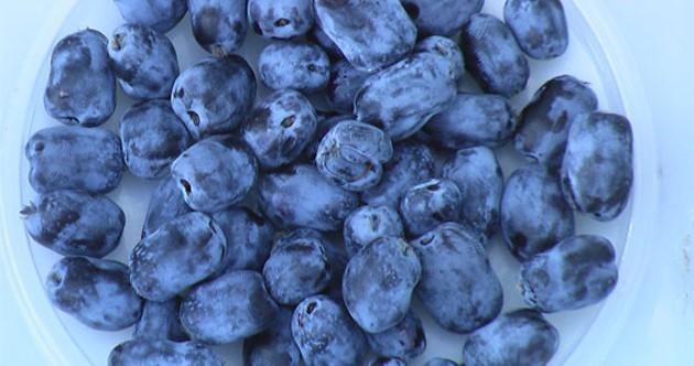 Fruit of the future: the haskap berry.