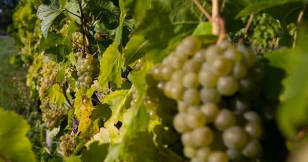 Grapes. - SCOTT BLACKBURN