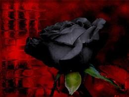black_rose_jpg-magnum.jpg