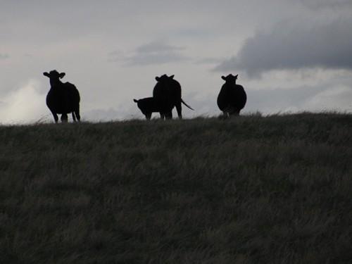 Montana Moocows