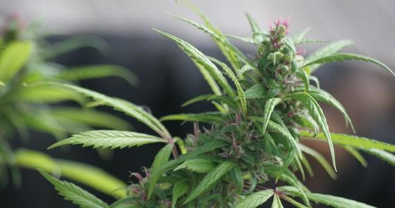 Nova Scotian-grown medicine. - MILES HOWE