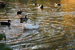 On golden pond.