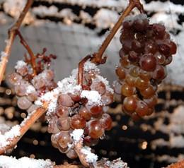 ice_wine_grapes.jpg