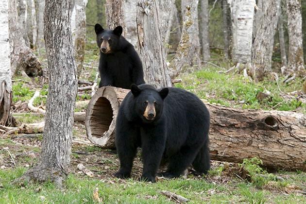 Little, Big Bear Safari - SUBMITTED