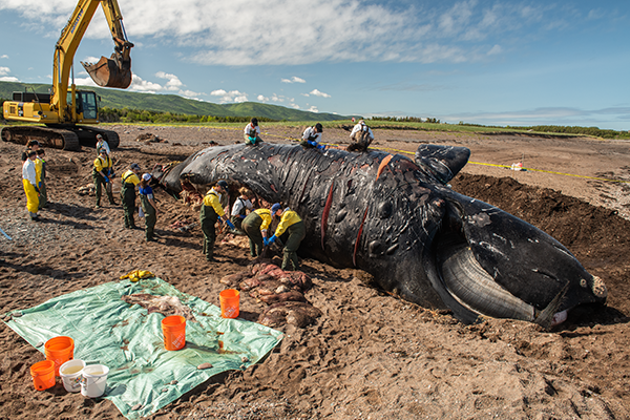 Punctuation was a 38-year-old female killed by a ship strike. While the team of researchers was working on Punctuation's necropsy—late June in Petit-Étang, Cape Breton—three more dead whales were spotted at sea. - NICK HAWKINS