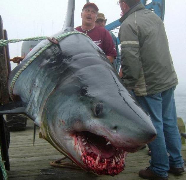 Nova Scotian shark, accept no substitutes. - CARLA ALLEN