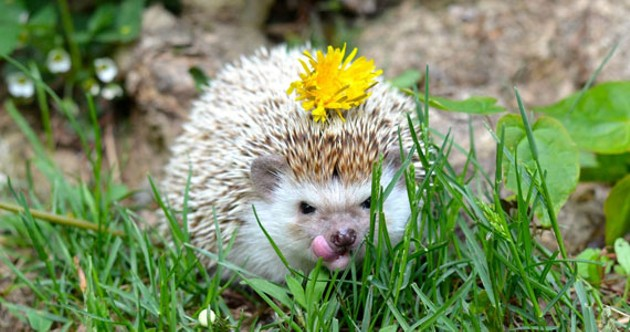 Hedgehogs are actually a lot like cats: They hiss, purr and use a litter box. - ELIZABETH MACKAY