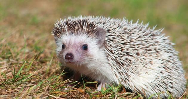 When shedding quills, hedgehogs can get cranky. - HANNAH BENNETT
