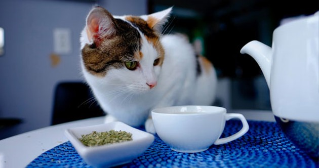 Yes, you can make tea out of catnip. Just don't expect it to be a cure-all. - MEL HATTIE