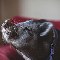 Erik: Pig in the city