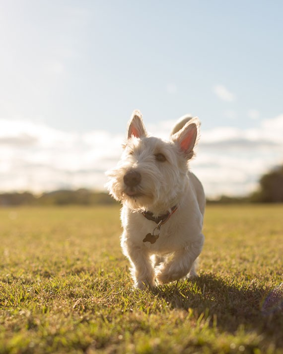 """""""My dog is constantly trying to overcompensate for his disproportionate features,"""" says owner Julia about her Scottish terrier Hamish, here seen exploring Needham Park with Julia and James. - DYLAN CHEW"""