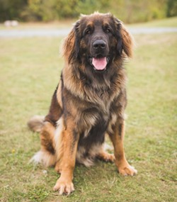 """Clancy the leonberger enjoys the scenery at Point Pleasant Park. """"It's like living with livestock,"""" says owner Jason. - DYLAN CHEW"""