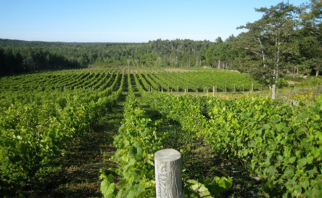 Crousetown's Petite Riviére Vineyards. - SUBMITTED