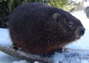 Groundhog cam available for Nova Scotian voyeurs