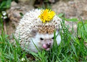 So you want to own a hedgehog?