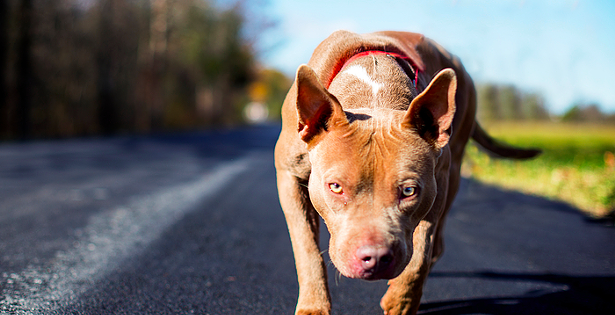 Banned pit bulls up for adoption in Maritime shelters