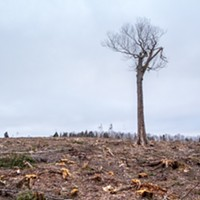 """A lone hardwood """"legacy tree"""" on private land in Halifax County stands amid the total destruction of mixed-species Acadian forest that used to surround it."""