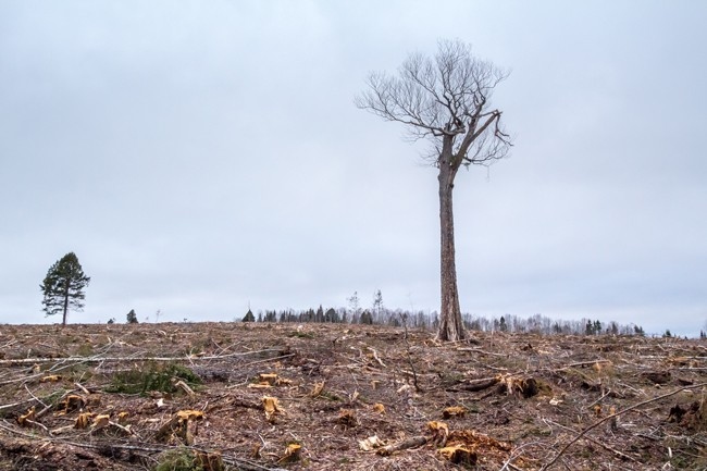 "A lone hardwood ""legacy tree"" on private land in Halifax County stands amid the total destruction of mixed-species Acadian forest that used to surround it. - ECOLOGY ACTION CENTRE"