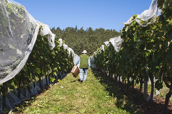 Stonehill Vineyard's founder Walter Wuhrer puts in the work - MEGHAN TANSEY WHITTON