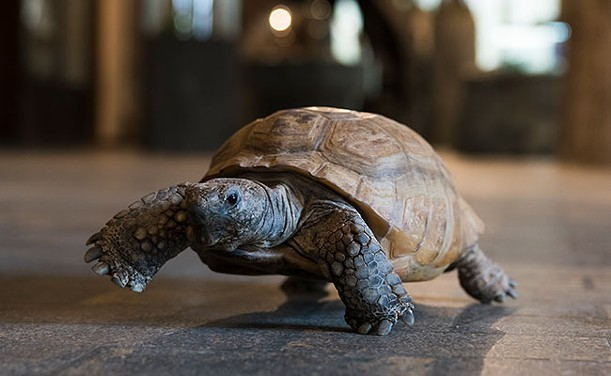 Gus the tortoise is free—like ice cream, not like Britney—this summer as part of the province's no-admission-fee museum plan. IAN SELIG