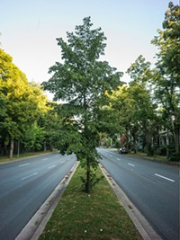 "5. The centre boulevard tree planting on Robie Street from Cunard to South. ""Fifty years ago, all the trees on this boulevard were removed. Not sure why, but they are back now."""