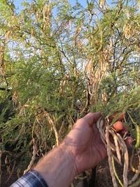 47014014_5.19-harvesting-mesquite-pods-img_21531-225x300.jpg