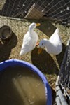Ducks Grace and Junior are part of D-S Rescue's petting zoo.