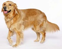 golden_retriever_jpg-magnum.jpg