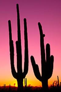saguaros_at_sunset_jpg-magnum.jpg