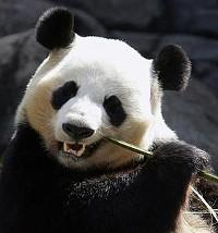 lthumb_garf10103101842_pandas_in_love_garf101_jpg-magnum.jpg