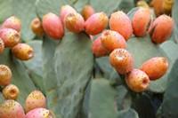 prickly_pear_fruit.jpg